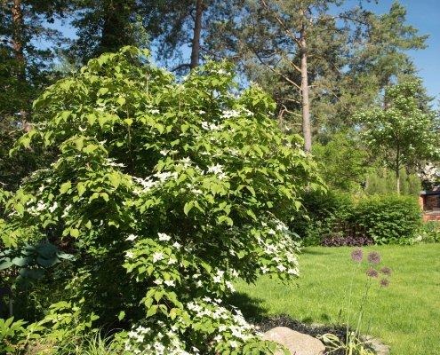 asiatischer Blüten- Hartriegel, Bergenie und lila Zierlauch