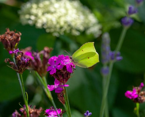 Gartenpflanzen Schmetterling
